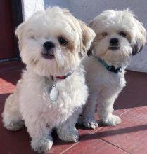 Adorable Ckc Shih Tzu Puppies Available