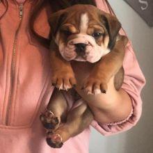 Astounding Ckc English Bulldog Puppies Available