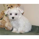 Purebred Maltese Puppies For Adoption