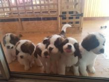 Accommodating St bernard puppies Available
