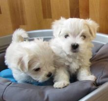 Adorable Male & Female Maltese Puppies For Adoption Email address(lucassmoonray23@gmail.com)