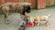 Bullmastiff puppies Available