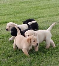 Cute Labrador Retriever Puppies Available,