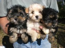 Exceptional Morkie Puppies Available