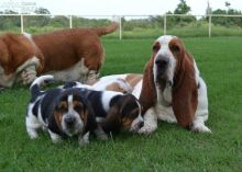 Healthy Basset Hound Pups available