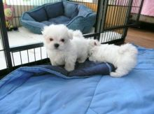 Home Raised Teacup Maltese Puppies Available