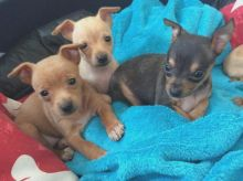 Miniature doberman pinscher puppies ready