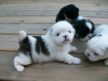 Cute Pekingese Puppies Available,