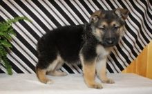 Lovely German Shepherd Puppies for adoption to lovely home