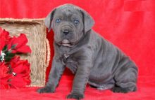 Beautiful Cane Corso puppies male and female Available