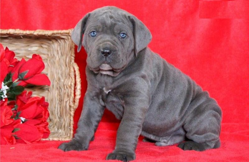 Beautiful Cane Corso puppies male and female Available Image eClassifieds4u