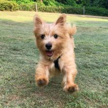 GOOD LOOKING CKC NORWICH TERRIER PUPPIES FOR RE-HOMING