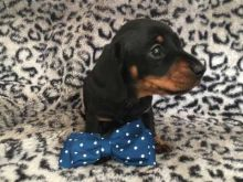 Fantastic Male Female Dachshund Puppies Now Ready For Adoption