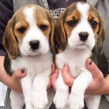AWESOME PERSONALITY BEAGLE PUPPIES FOR ADOPTION