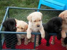 (Wonderful Labrador Retriever Puppies For Adoption - 12Weeks Old) Image eClassifieds4U