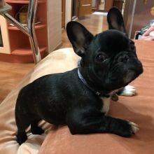 AWESOME PERSONALITY FRENCH BULLDOG PUPPIES FOR ADOPTION