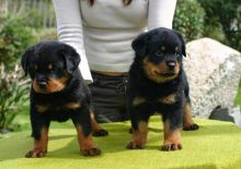 AWESOME PERSONALITY ROTTWEILER PUPPIES FOR ADOPTION