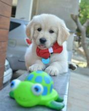 Cute Lovely Golden Retrievers Puppies Male and Female for adoption