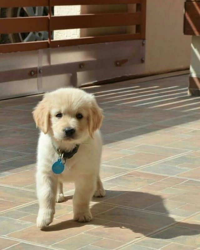 Cute Lovely Golden Retrievers Puppies Male and Female for adoption Image eClassifieds4u