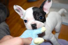 AWESOME PERSONALITY FRENCH BULLDOG PUPPIES FOR ADOPTION Image eClassifieds4u 4