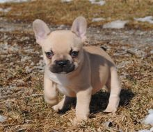 AWESOME PERSONALITY FRENCH BULLDOG PUPPIES FOR ADOPTION Image eClassifieds4u 2