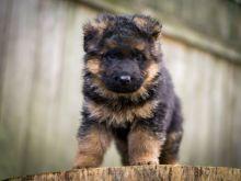 Fabulous German Shepard puppies for adoption