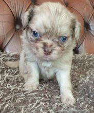 Quality Pug Puppies For Adoption