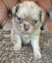 Quality Pug Puppies For Adoption