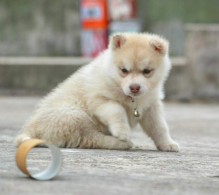 Excellent Siberian Huskies puppies for adoption