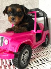 Precious Yorkshire Terrier Puppies For Adoption