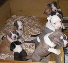 American Staffordshire terrier puppies available Image eClassifieds4u 1