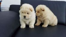 Amazing Chow Chow Puppies Available