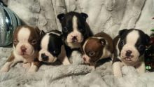 Cute Boston terrier Pups Available