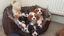 Gorgeous Cavalier King Charles Spaniel puppies available