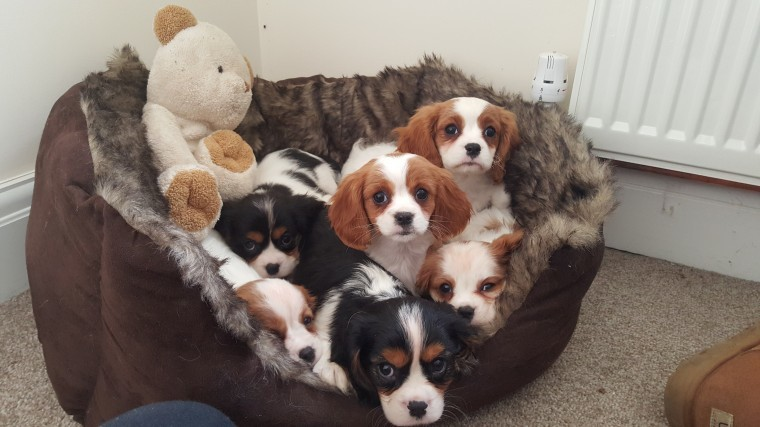 Gorgeous Cavalier King Charles Spaniel puppies available Image eClassifieds4u