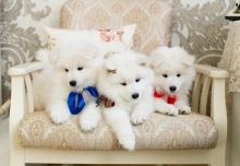 Beautiful Samoyed puppies Available .