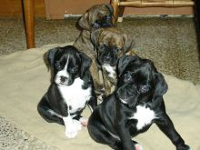 Boxer puppies available for new homes. Vaccinated and socialized.