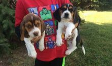 Super Cute Beagle Puppies Available for Adoption Email address us @(alexwilsonsmith2@gmail.com)