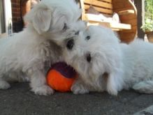 Adorable Male & Female Maltese Puppies For Adoption Email address(lucassmoonray23@gmail.com) Image eClassifieds4U