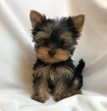 Male & female Yorkie puppies