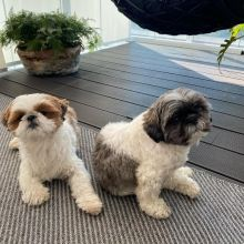 Awesome Shih tzu Puppies Available for Adoption Email@(lucassmoonray23@gmail.com)