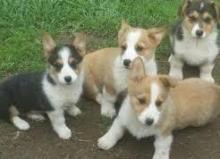 4 Pembroke Welsh Corgi puppies