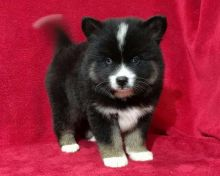 Quality Pure Pomsky Puppies