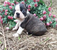 Adorable Boston Terrier puppies for adoption