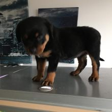 Stunning Male and Female Rottweiler Puppies available for adoption Email (lucassmoonray23@gmail.com)