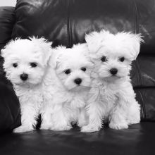 Two Maltese Puppies Needs a New Family Image eClassifieds4U