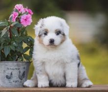 Amazing AUSTRALIAN SHEPHERD puppies