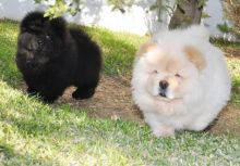 Charming Chow Chow Puppies For Adoption