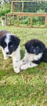 Excellent Newfoundland puppies for adoption