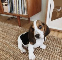 Fabulous Basset Hound puppies for adoption